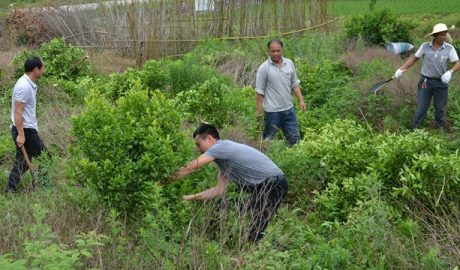 In May, officials from Guanyang county's Wenshi town in Guangxi Zhuang Autonomous Region launched a campaign to cut down fruit trees and use the land to plant grains.